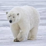 Study Finds Robust Polar Bear Population In Chukchi Sea