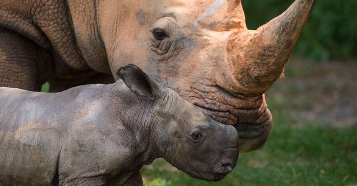 Help Name the NC Zoo's Baby Rhino!