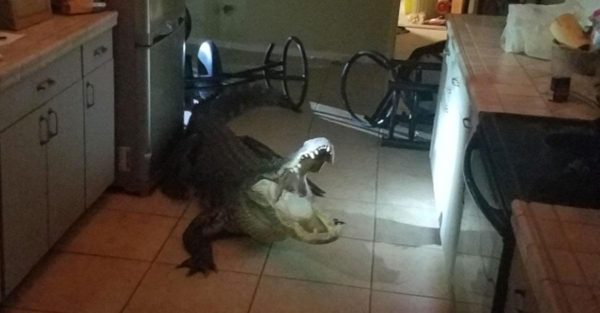 gator in kitchen