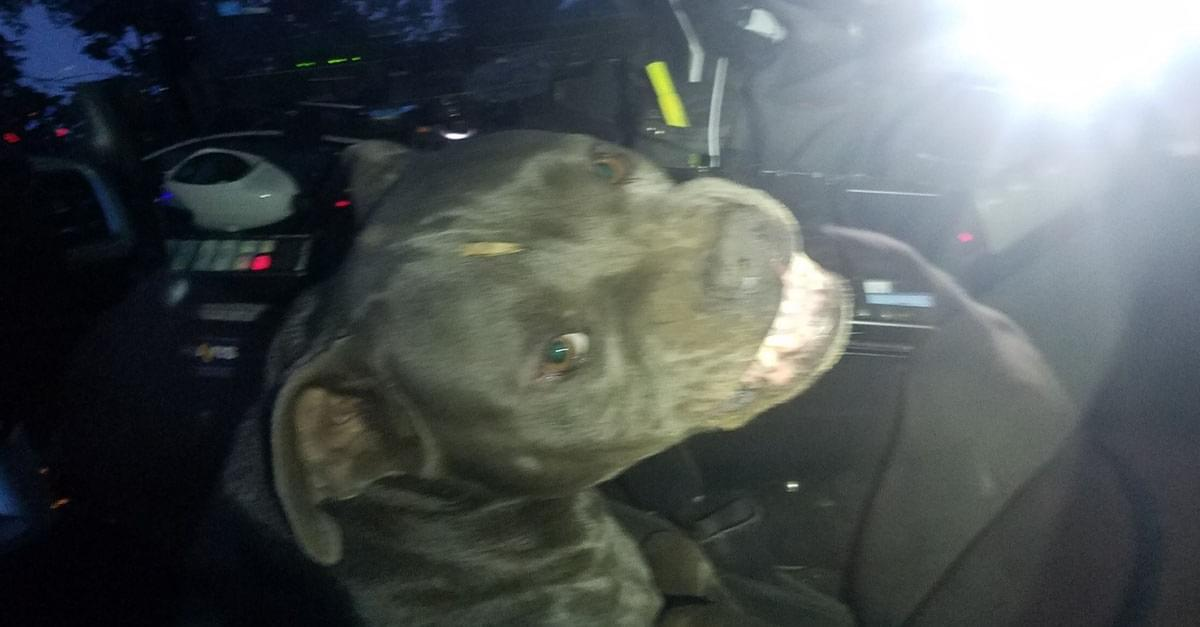 Dog hijacks police car and eats officer's beef jerky