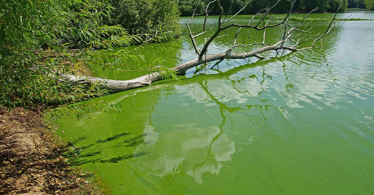 Toxic Blue-green Algae Found in Some NC Lakes and Ponds