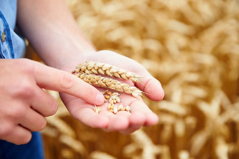 Close Up Of Farmer Checking Wheat Crop In Field