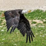 South Dakota Man Sentenced For His Involvement In The Killing Of A Federally Protected Bald Eagle