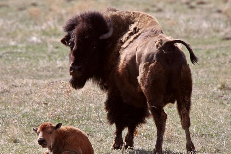 Cow and calf bison resting in pasture