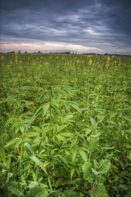 Field of industrial hemp in Estonia