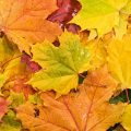 Colored background of fallen leaves