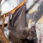 Rabid bat found in Leland