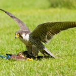 Falconry no longer acceptable use in Marseilles residential code