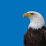 Bald Eagle Watch Weekend coming up