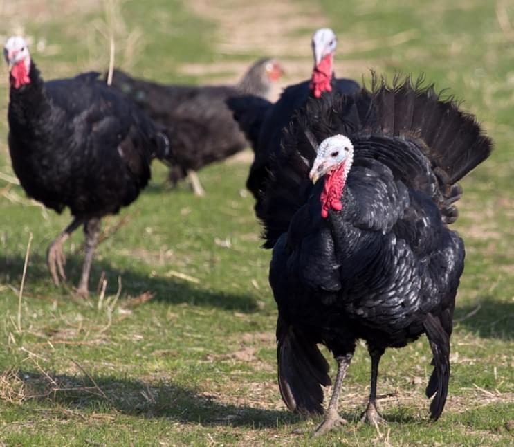 Illinois hunters bag more turkeys in 2019 than 2018