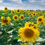 It's too wet for sunflower fields at Matthiessen State Park