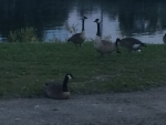 Park District Decides Geese Becoming Too Fowl at Page Park