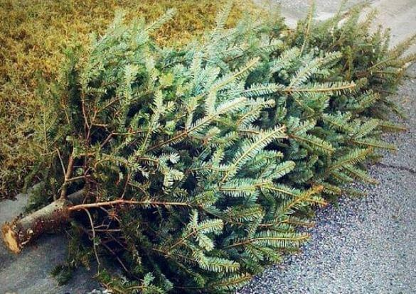 Christmas Tree Pickups Will Begin After 1st Of The Year Wixn Am
