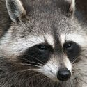 Sterling Council Takes a Look at What Could be Ordinance About Feeding Wild Animals