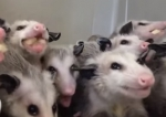 …And now: Possums Eating Bananas