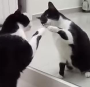 Cat in the Mirror….wait for it…..