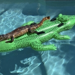 An Alligator Is Spotted in a Pool . . . on an Inflatable Alligator Pool Raft