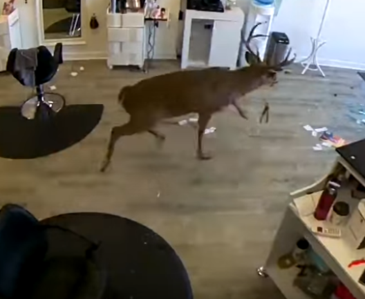 A Deer Crashes Through Hair Salon Window