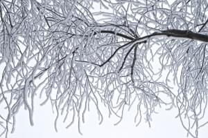 icy trees