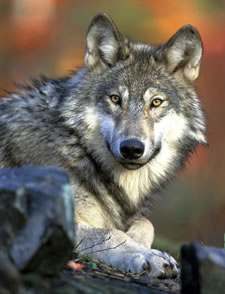 WDFW approves lethal removal against two wolf packs