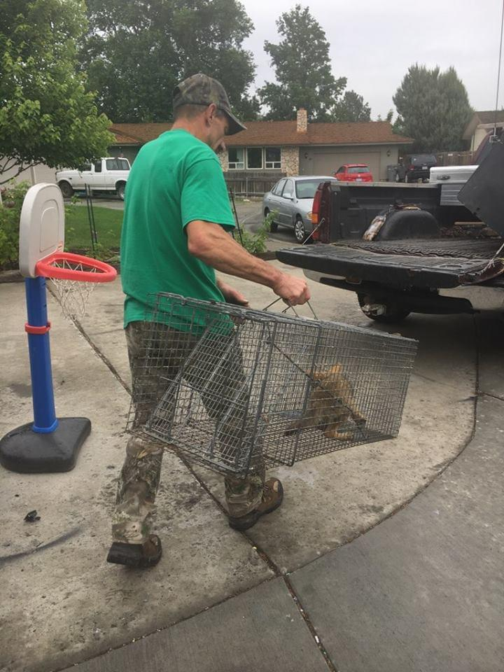 Trapper drowns coyote pup found in Kennewick home against WDFW policy