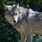 Researcher rescued after climbing tree to escape threatening wolf
