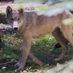 WDFW: Judge denies temporary injunction for wolf removal