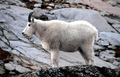 Mountain goats in the Olympics to be translocated
