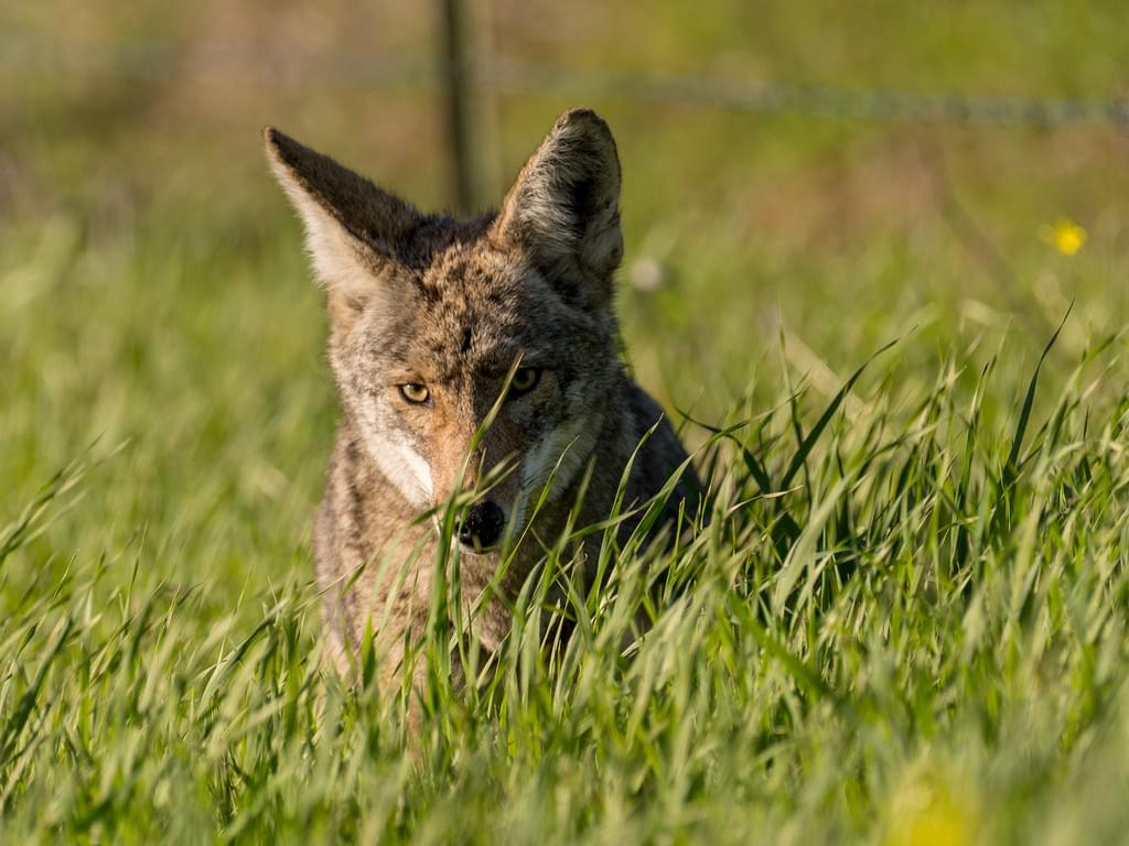 Oregon Senate votes to ban coyote killing competitions
