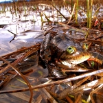 Threatened frogs find refuge in BPA transmission line corridors