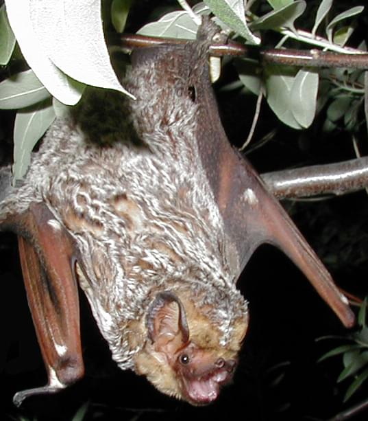 Hoary bat in danger of extinction; wind turbines partly to blame