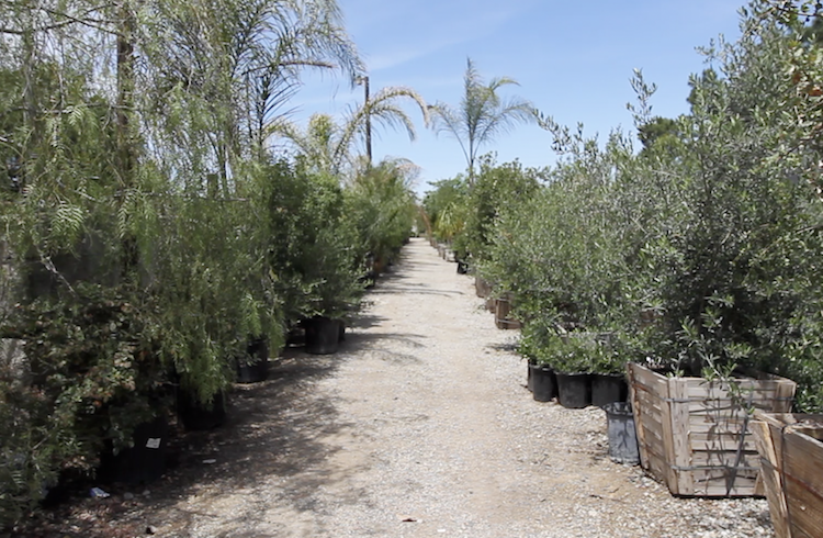 Rows Of Trees Shrubs And Other Plantings Are Ready For Immediate Delivery At Bolles Nursery