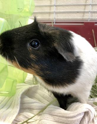 Raven's Choice Pet Pet Pals-Mary the Guinea Pig!