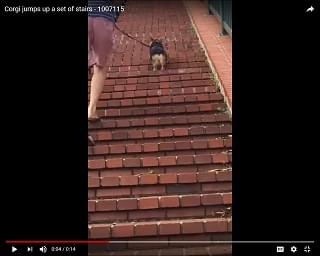 Viral Video: Corgi Dog Hops Up Long Set of Stairs