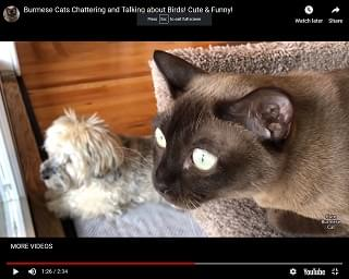 Viral Video: Burmese Cats Chattering and Talking about Birds