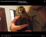 Viral Video: Rescued Squirrel Monkey Is Sung To Sleep