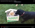 Viral Video: Dog Surprised With New Puppy