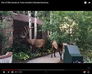 Viral Video: Pair of Elks Snack on Trees Outside Business