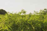 Connecticut Today with Paul Pacelli: Growing Hemp Industry