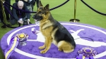 Westminster Kennel Club Dog Show @ MSG, 2/11 & 2/12!