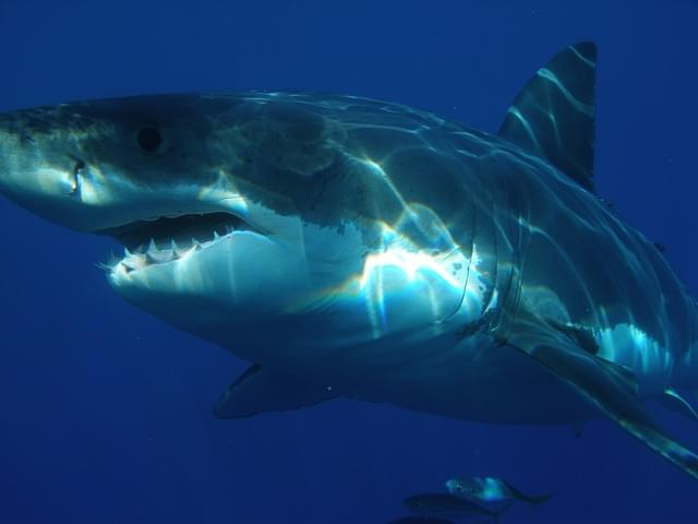 40 Great White Sharks Spotted in Aptos / Santa Cruz