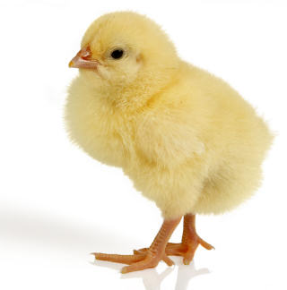 Chicks video images 5