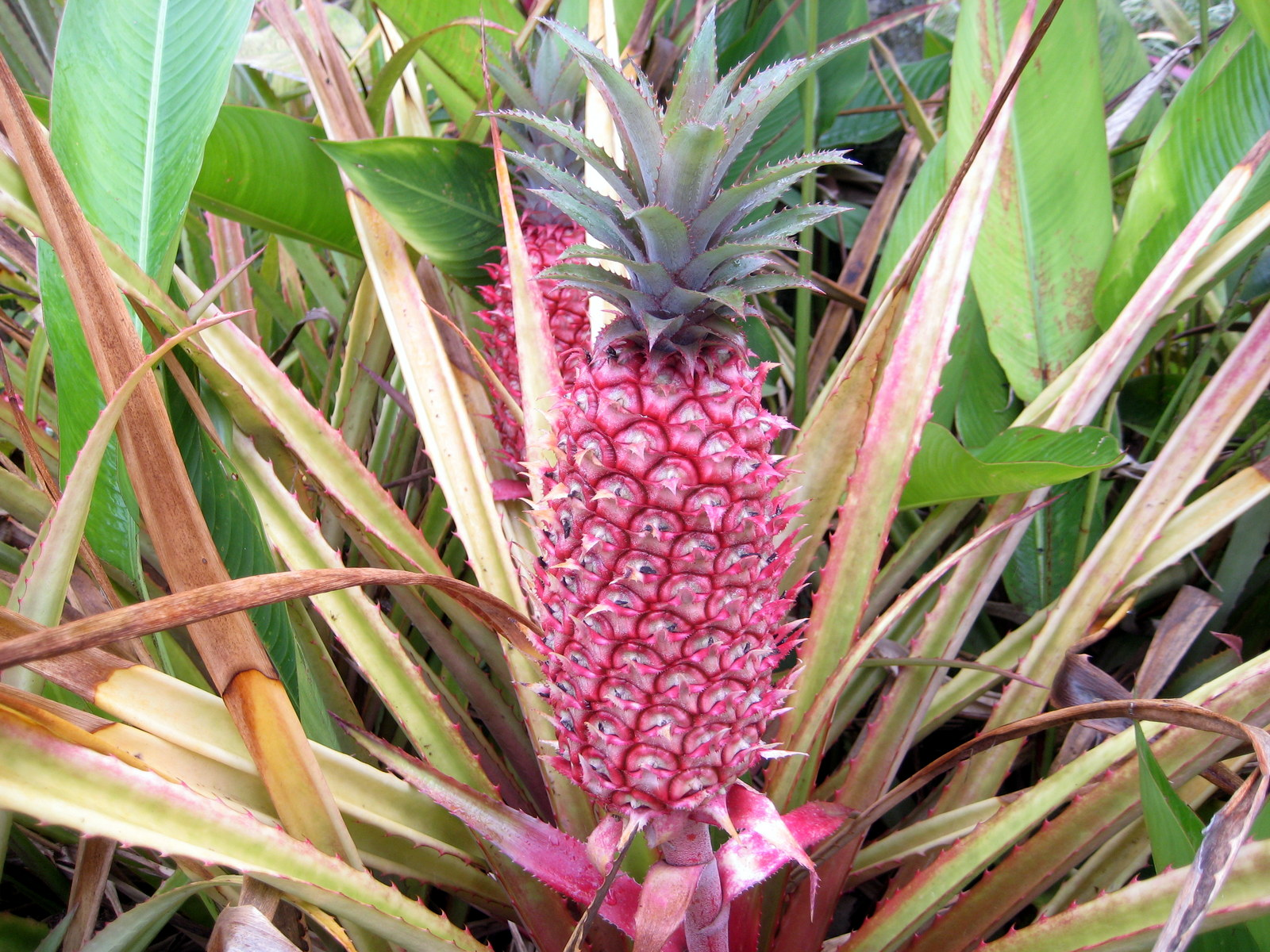 Pink Pineapples Are Now On Sale And Taking Over Social