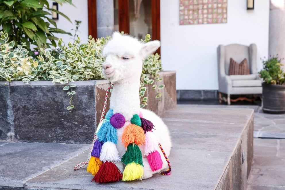 This year you can book your Valentine a FaceTime with an Alpaca