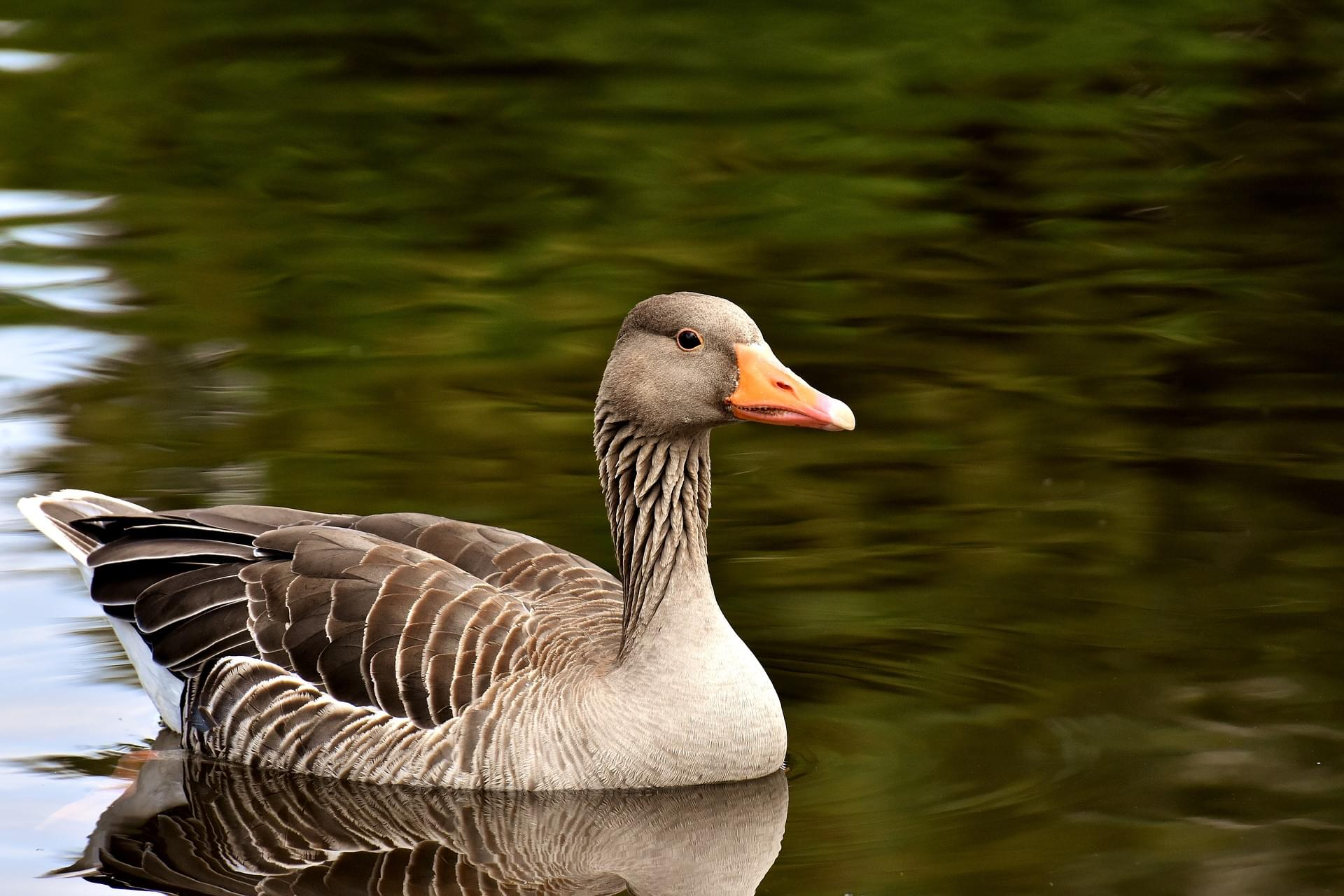 Fishers Police Issue Warning After Goose Attacks Two People In Walmart Parking Lot