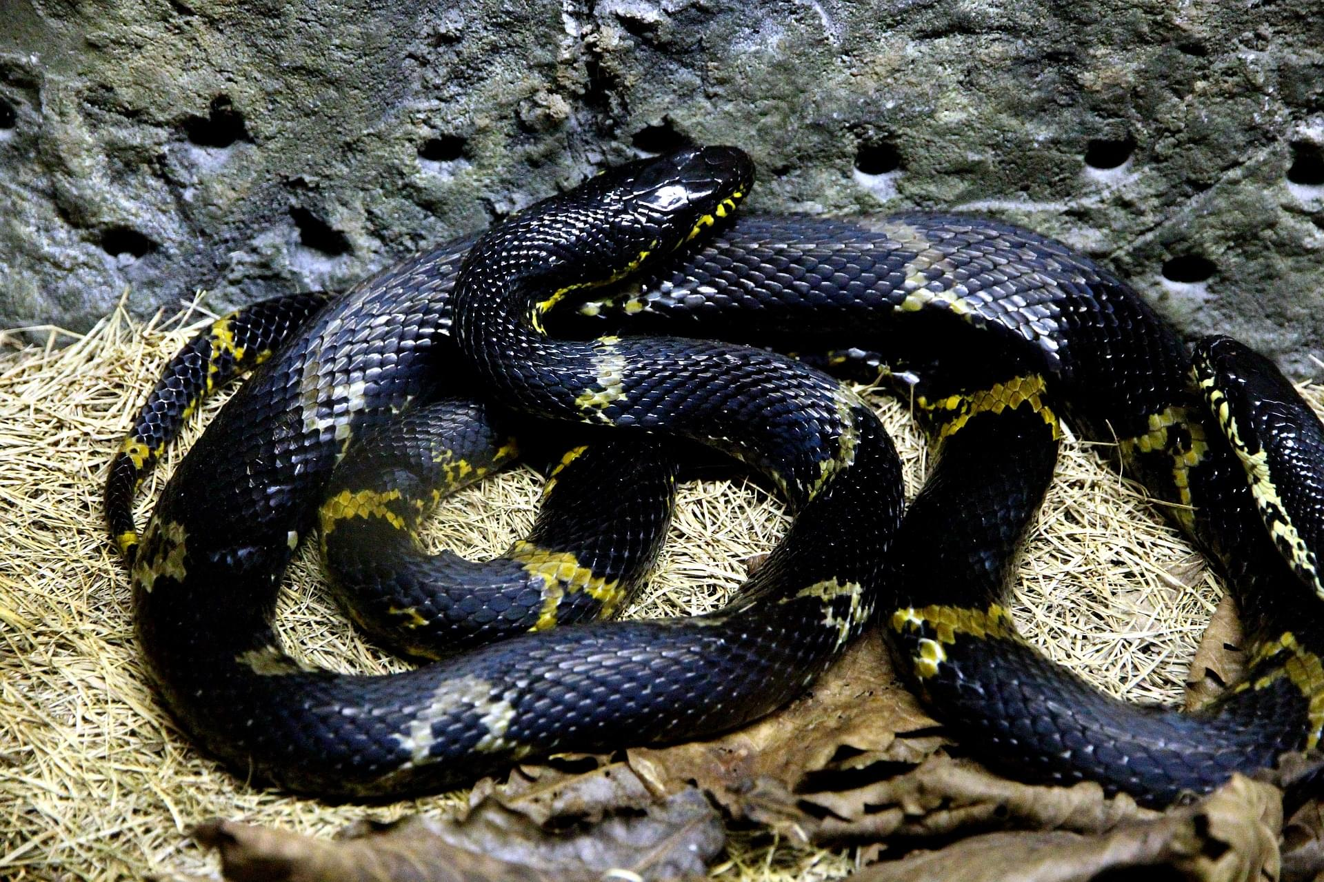 Massive Rat Snake Spotted On Zionsville Trail [PHOTO]