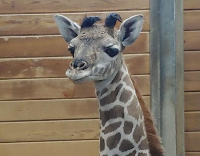 KC Zoo Names New Giraffe // Welcome Maxwell