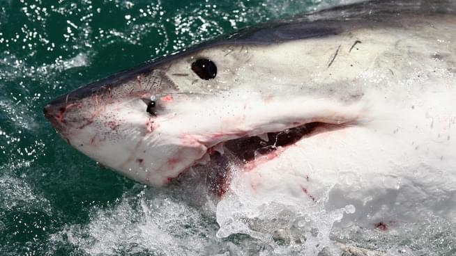 Watch: More Great White Sharks Showing Up In Santa Cruz
