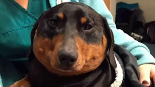 Dachshund Needed Deflating After Windpipe Leak Swells Him to 3-Times Normal Size