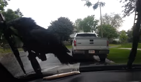Crow Clings To Windshield Wiper In Iowa